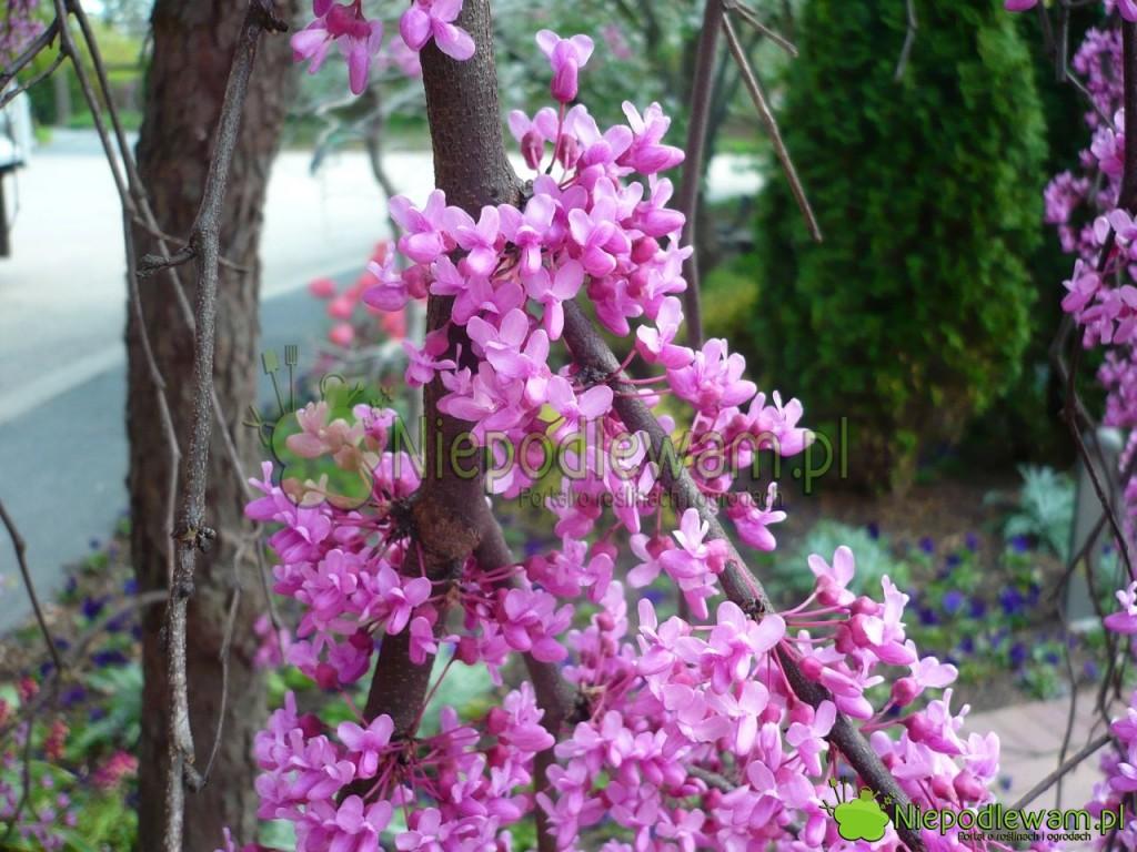 Kwiaty judaszowca kanadyjskiego Covey przypominają kwiaty groszku pachnącego. Mają lawendowy odcień różu. Fot.Niepodlewam