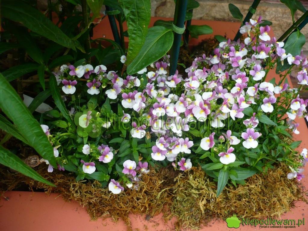 Nemezje powabne biało-fioletowe przypominają zdaleka drobne bratki. Fot.Niepodlewam