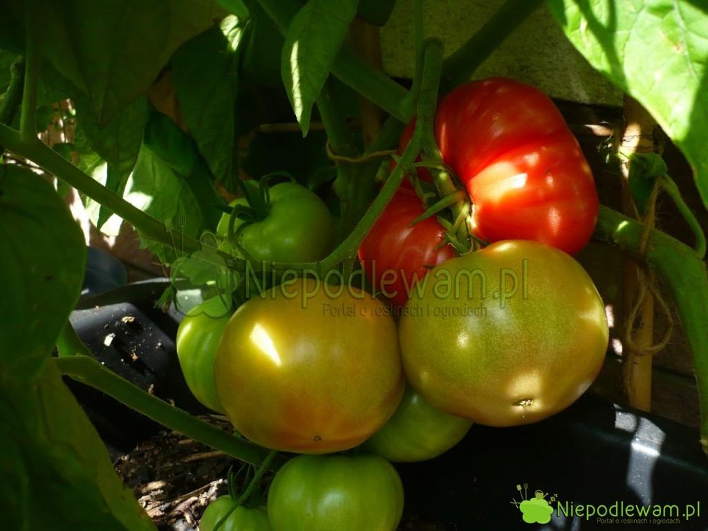 Owoce pomidorów Malinowy Warszawski nie dojrzewają jednocześnie. Są zebrane w grona. Fot. Niepodlewam