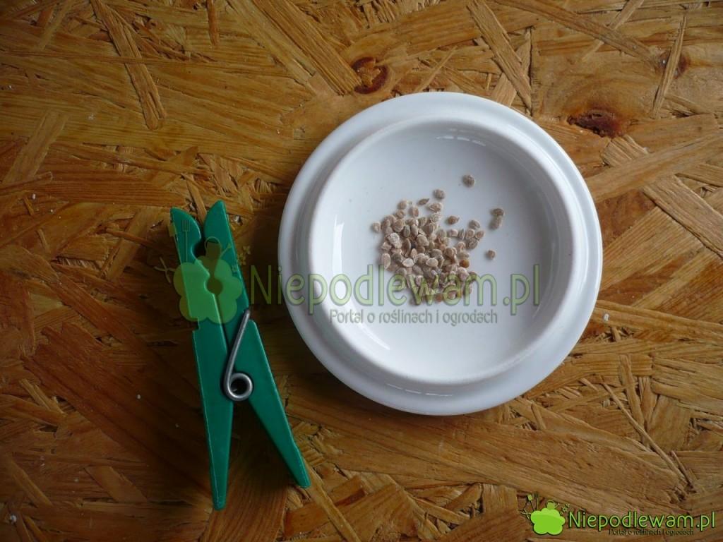 Nasiona pomidora Malinowy Warszawski. Fot. Niepodlewam