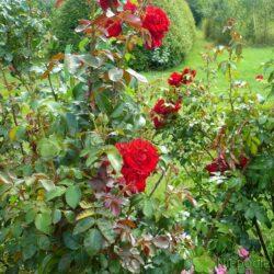 Róża Amadeus ma czerwone, lekko pachnące kwiaty. Fot. Niepodlewam