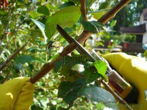 Koniec zimy i po zbiorach owoców - to terminy cięcia krzewów owocowych. Fot. Niepodlewam