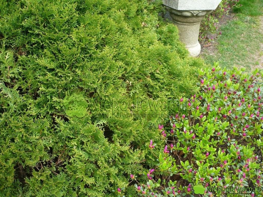 Żywotnik zachodni Little Giant to zdrowo rosnąca odmiana. Fot. Niepodlewam