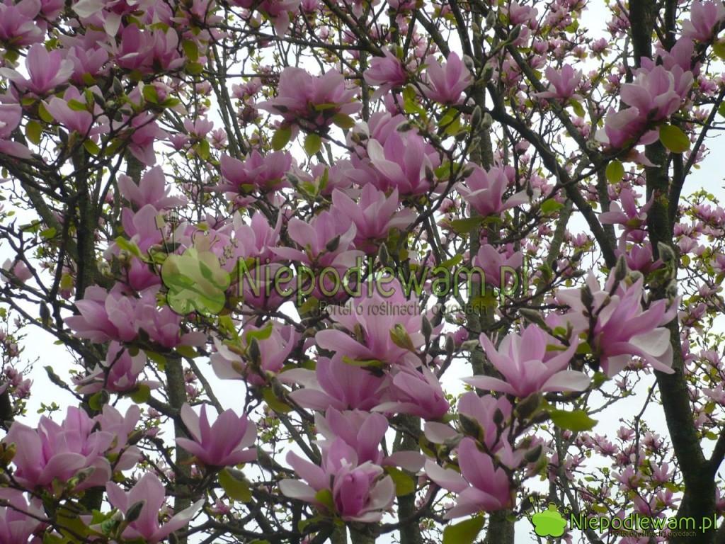 Magnolia Soulange`a Alexandrina kwitnie naróżowo, zanim wypuści liście. Wygląda zjawiskowo. Fot.Niepodlewam
