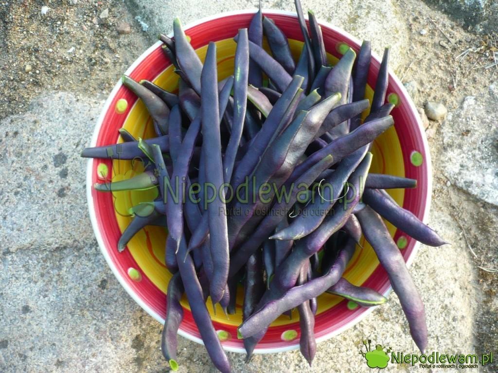 Fasola Blauhilde ma fioletowe, duże, mięsiste strąki odługości około 20 cm. Pougotowaniu stają się ciemnozielone. Fot.Niepodlewam
