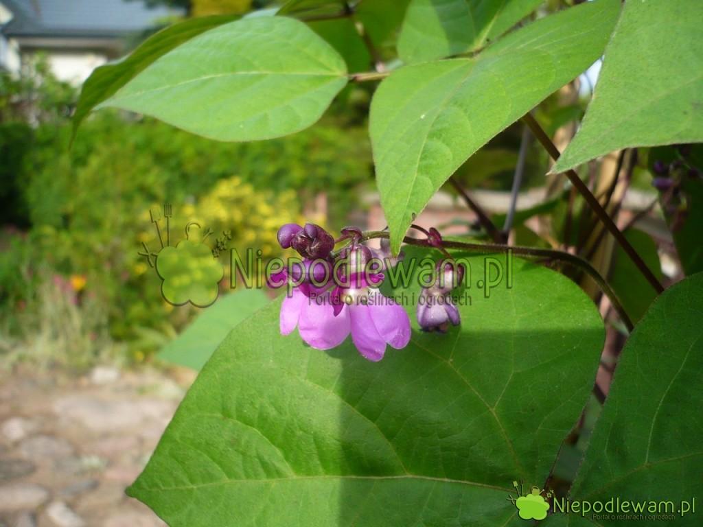 Fioletowe kwiaty fasoli Blauhilde są ozdobą ogrodu. Fot.Niepodlewam