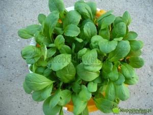 Komatsuna to warzywo o jadalnych liściach. Rośnie błyskawicznie, także w donicach. Na zdjęciu jest odmiana Tendergreen. Fot. Niepodlewam