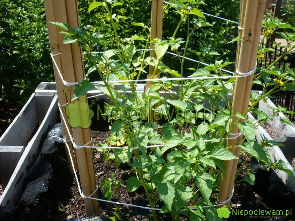 Miechunka pomidorowa posadzona nawysokiej grządce zrobionej zpalet. Fot.Niepodlewam