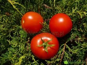 Pomidor Poranek jest niski (około 100 cm wysokości). Ma średniej wielkości owoce. Fot. Niepodlewam