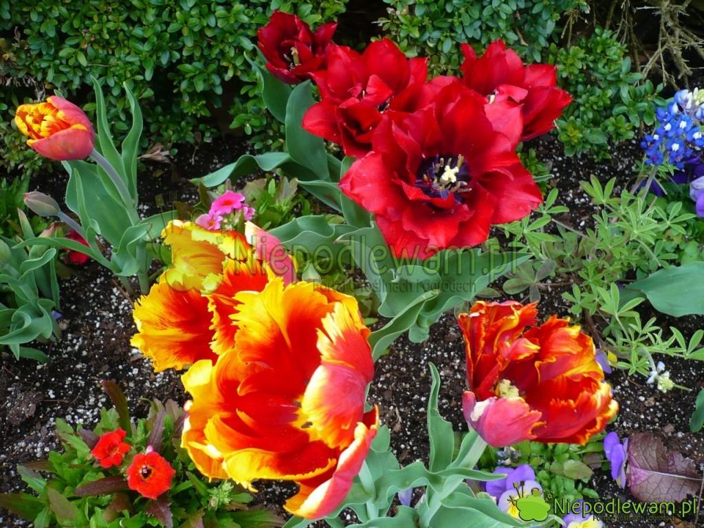 Tulipany Bright Parrot (żółto-pomarańczowy; bez zapachu) oraz Uncle Ben (czerwony; ślicznie, mocno pachnący). Drobne kwiaty to nemezja powabna. Fot. Niepodlewam