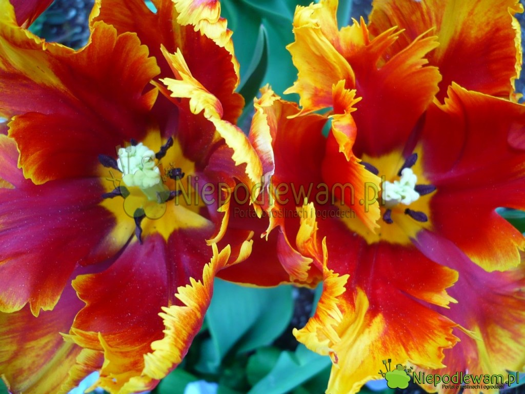 Tulipan Bright Parrot ma płatki jak maźnięte farbą. Kolorystyka jest niezwykle słoneczna. Fot. Niepodlewam
