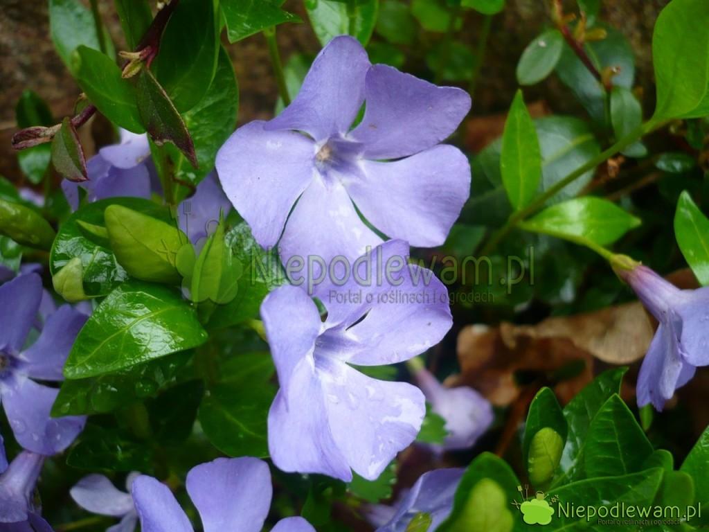 Barwinek pospolity toroślina kobiercowa. Ładnie kwitnie - najczęściej naniebiesko. Fot.Niepodlewam