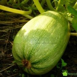Dynia Makaronowa Warszawska ma duże, owalne owoce. Bardzo obficie plonuje. Fot. Niepodlewam