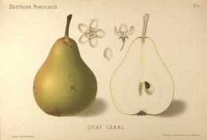 """Grusza Kanal - – rysunek z książki """"Deutsche Pomologie"""" Wilhelma Lauche z 1882-1883, ze zborów biblioteki Wageningen UR."""