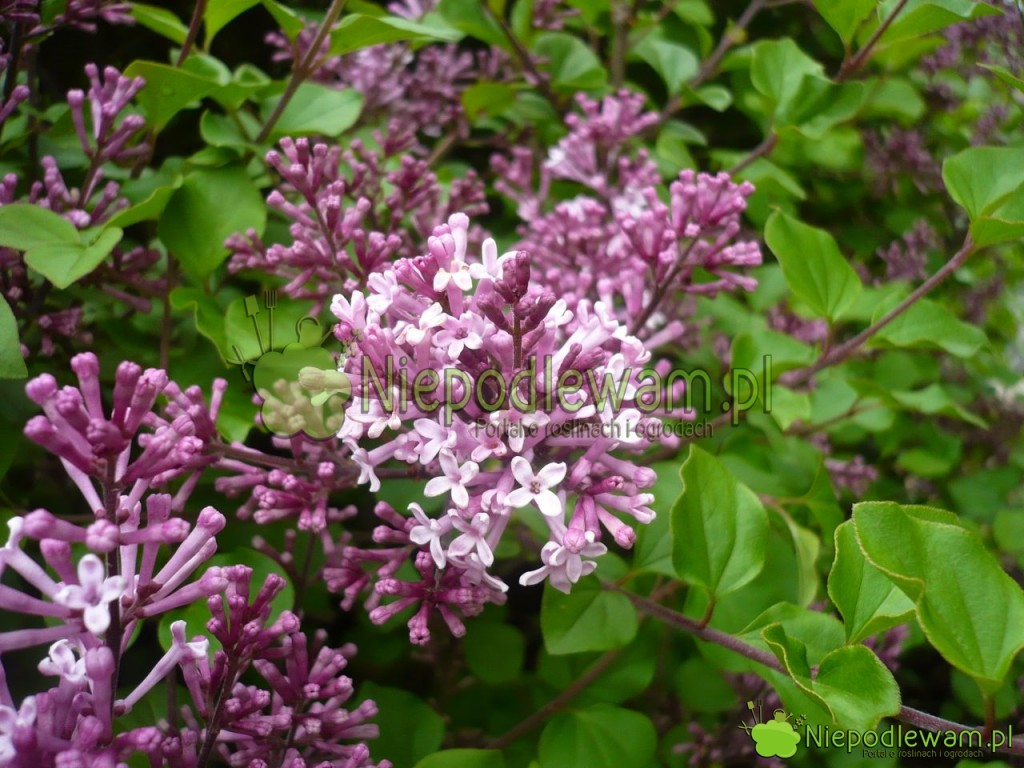 Kwiaty lilaka Meyera są pojedyncze, często fioletowe. Fot.Niepodlewam