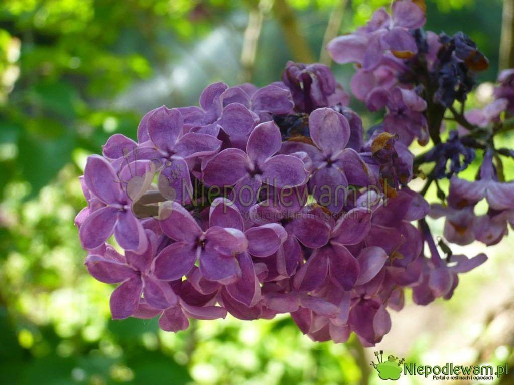 Lilak pospolity Negro to odmiana z XIX wieku. Fioletowe kwiaty pachną średnio mocno. Fot. Niepodlewam
