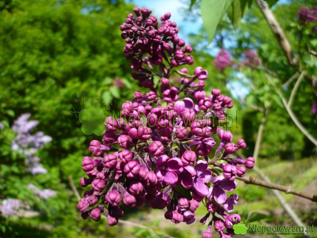 Lilak pospolity Negro zaczyna kwitnąć najczęściej w pierwszych dniach maja. Fot. Niepodlewam