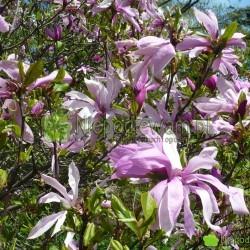 Magnolia Jane to niska, odporna odmiana. Kwitnie na różowo, Fot. Niepodlewam