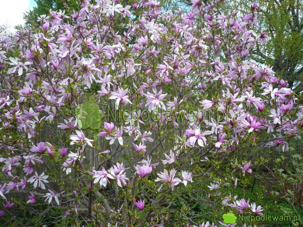 Magnolia Jane wpełni kwitnienia (ostatni dni kwietnia). Fot.Niepodewam