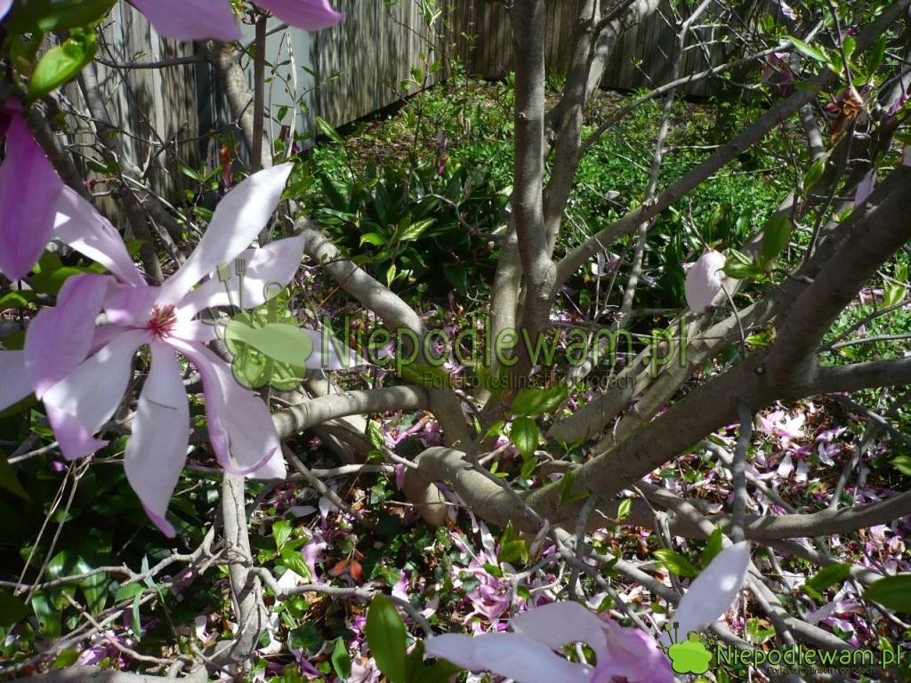magnolia Jane niska