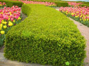 Bukszpany nie są żarłoczne. Jednak rosną bujniej i pięknie się zielenią, jeśli są zasilane przynajmniej raz w sezonie. Fot. Niepodlewam