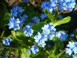 Niezapominajka leśna kwitnie w drugiej połowie wiosny. Kwiaty są najczęściej niebieskie. Fot. Niepodlewam