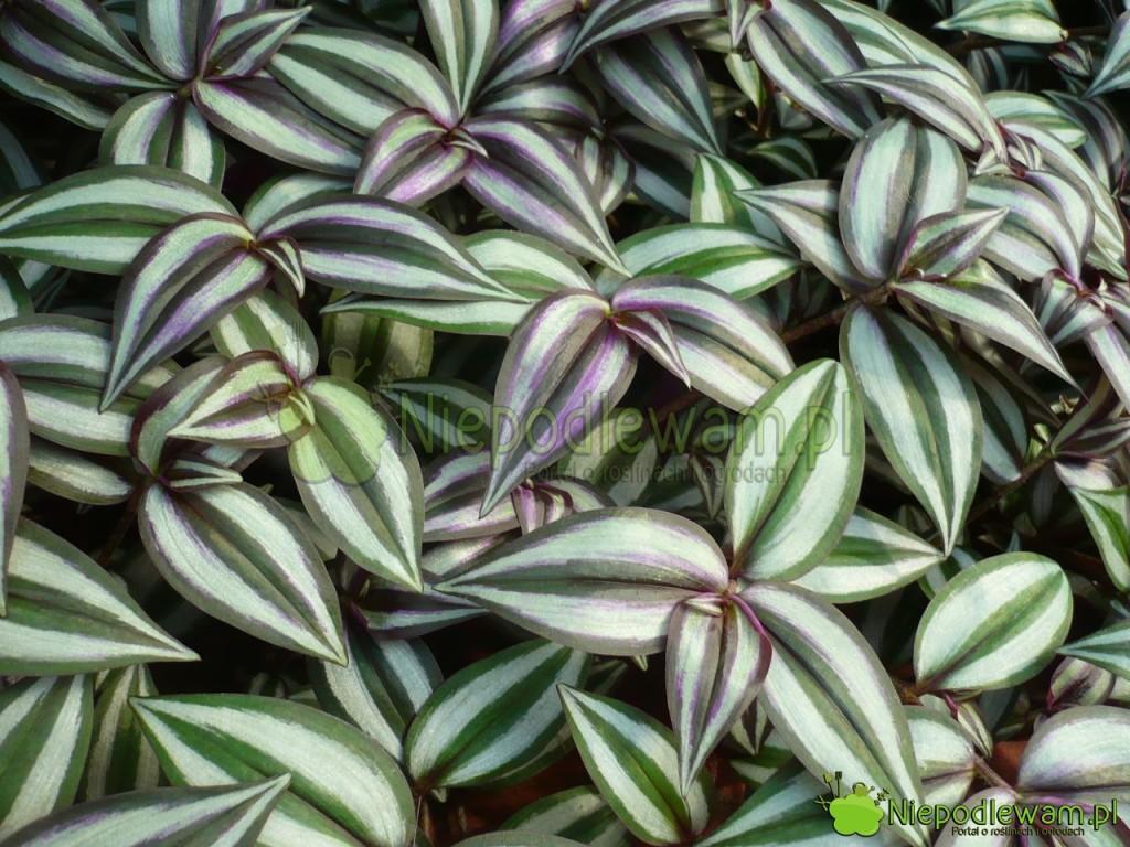 Trzykrotka pasiasta ma liście wpaski. Kolory pasków są dwa, trzy lub cztery wzależności ododmiany inasłonecznienia. Fot.Niepodlewam