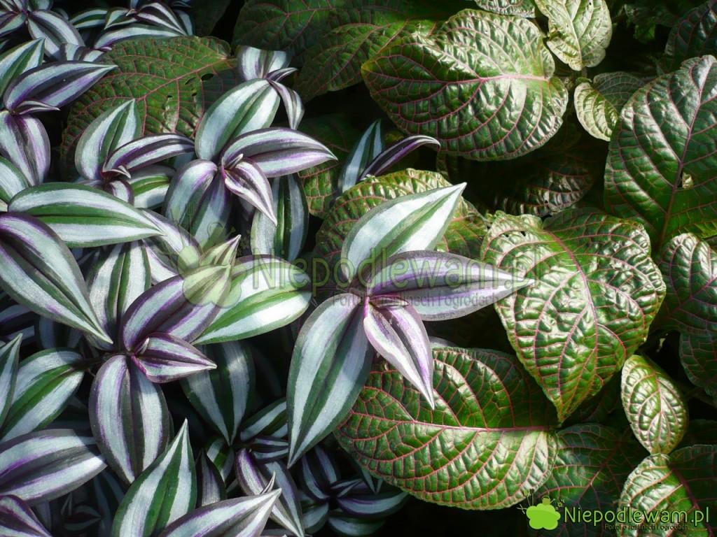 Trzykrotkę pasiastą można sadzić w kompozycjach z innych roślinami, jak np. fitonia Verschaffelta. Fot. Niepodlewam