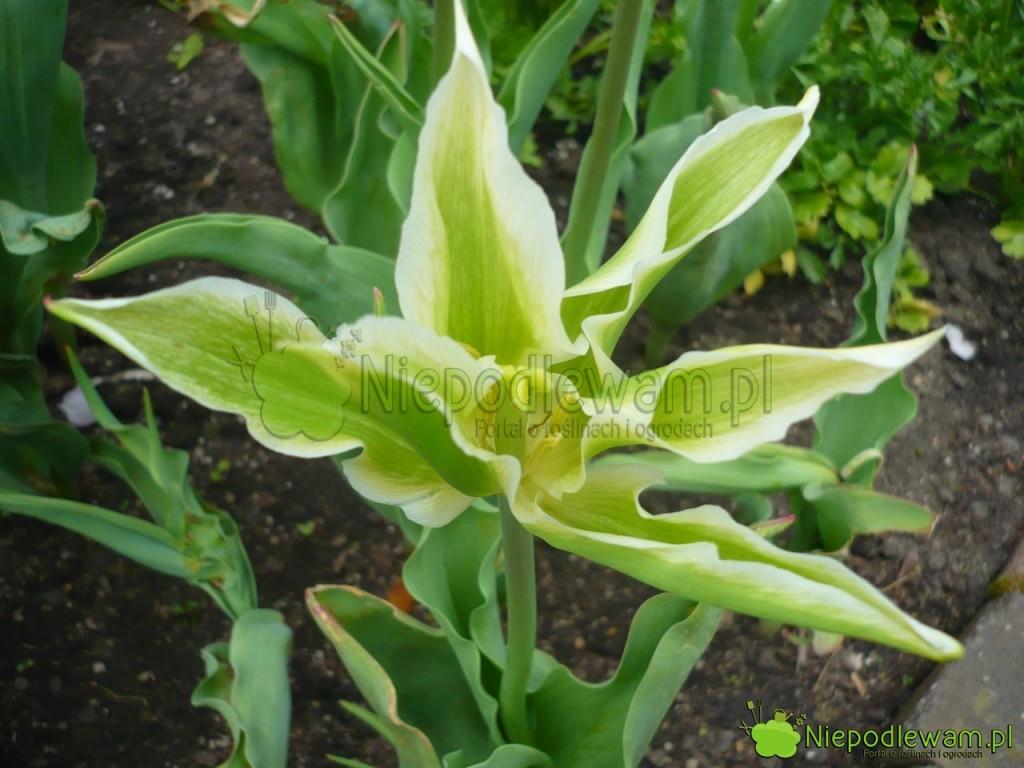 Tulipan Green Star ma kwiat jak zielona gwiazda zesmugami białymi iżółtymi. Fot.Niepodlewam