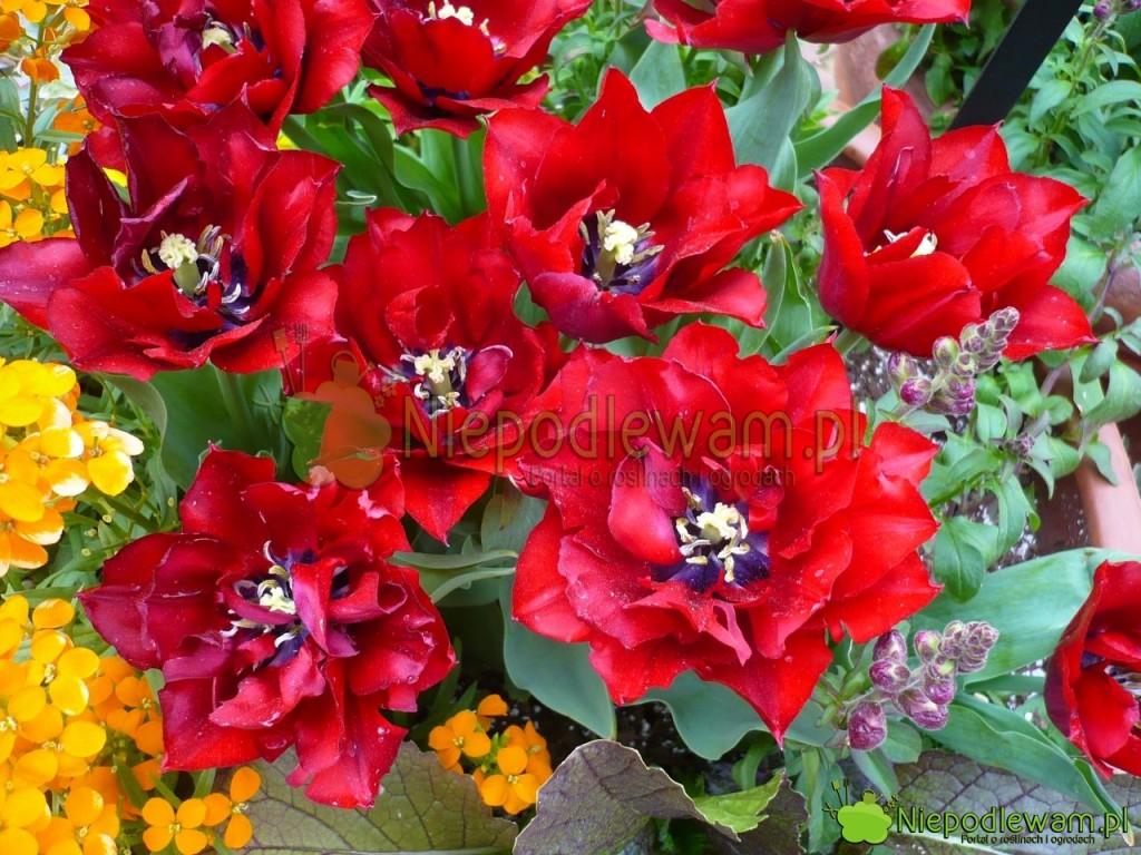 Tulipan Uncle Tom wspaniale pachnie. Jego kwiaty są wyjątkowej urody. Tostara odmiana. Fot.Niepodlewam