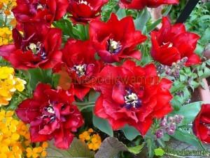 Tulipan Uncle Tom wspaniale pachnie. Jego kwiaty są wyjątkowej urody. To stara odmiana. Fot. Niepodlewam