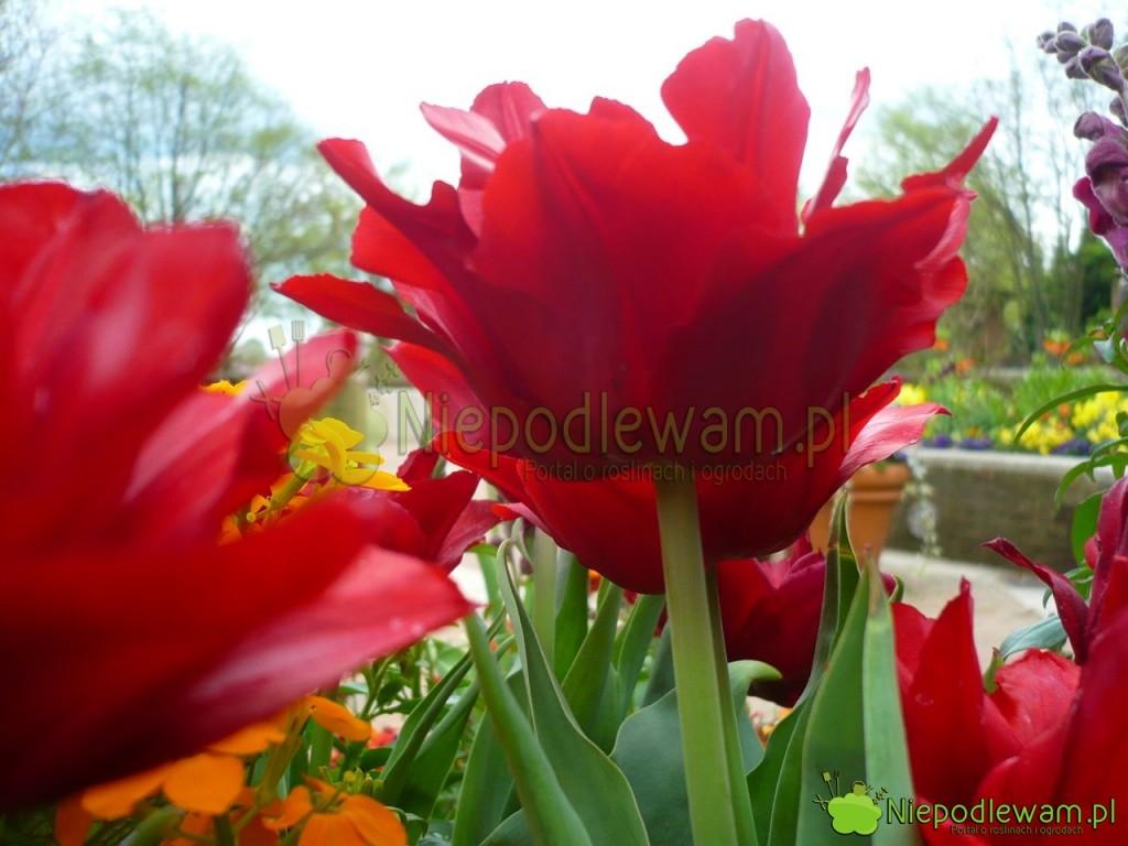 Kwiaty tulipanów Uncle Tom są eleganckie z profilu. Fot. Niepodlewam