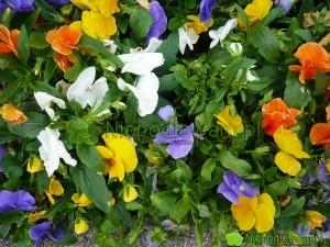 Bratek ogrodowy ma kwiaty w wielu kolorach. Fot. Niepodlewam