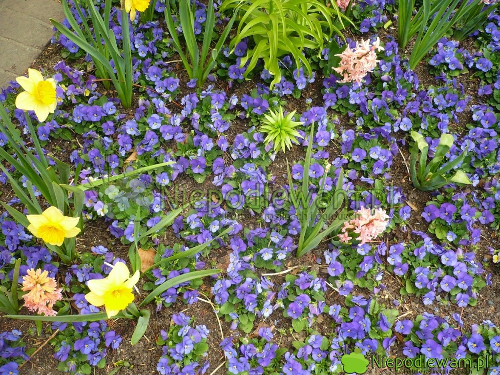 Bratek ogrodowy Sorbet kwitnie naniebiesko. Fot.Niepodlewam