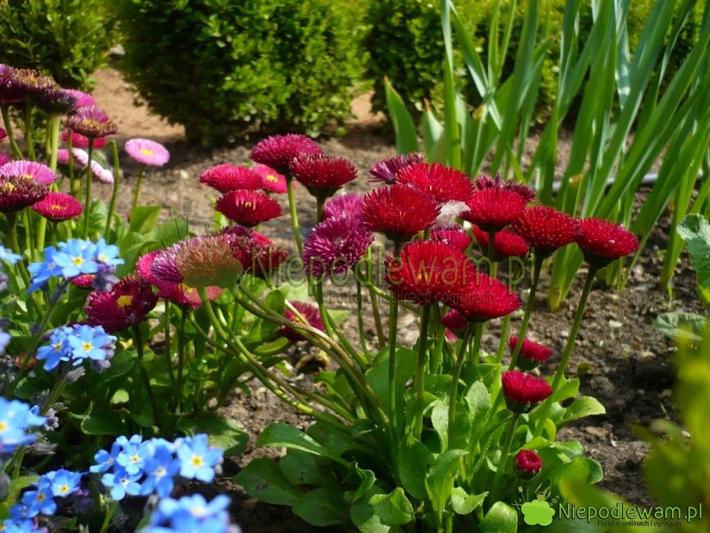 Stokrotki z czerwonymi kwiatami. Fot. Niepodlewam