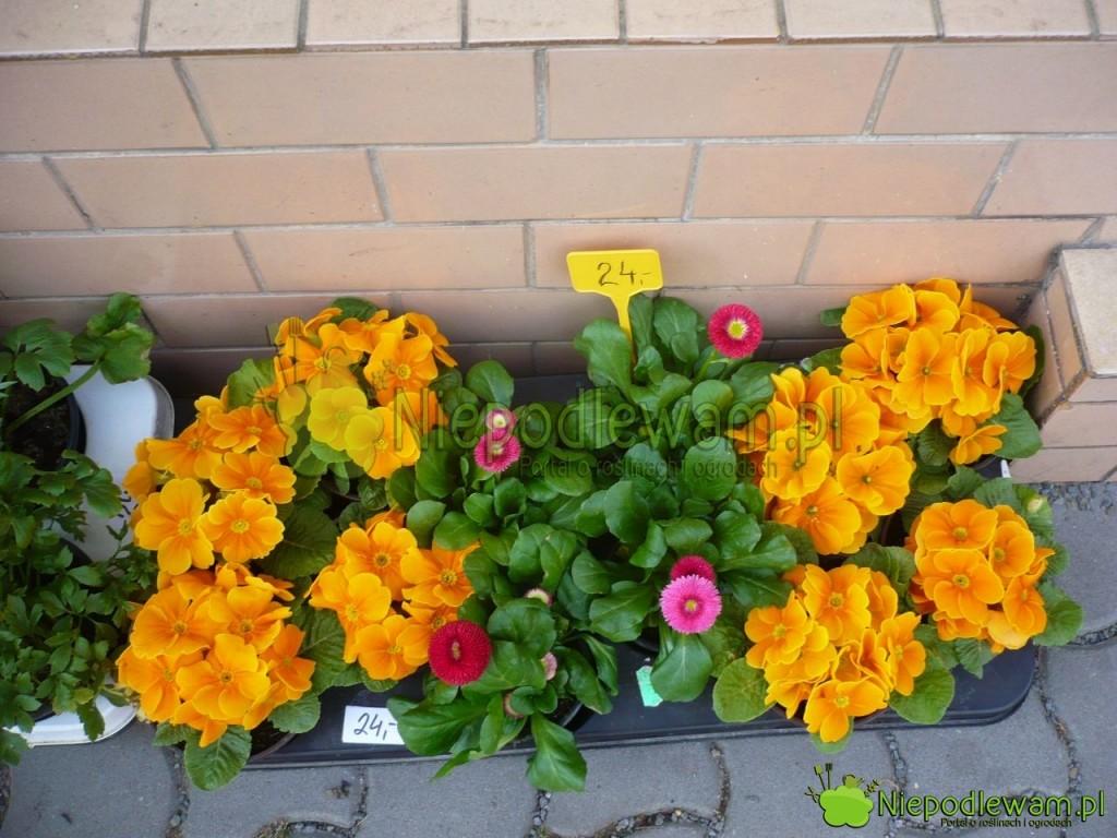 Rozsada stokrotek bardzo dobrze się przyjmuje nawet wczasie kwitnienia. Fot.Niepodlewam