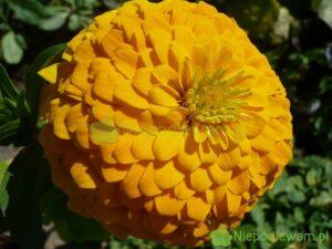 Cynia wytworna to elegantka wśród kwiatów. Kwiaty często są pełne, jak pompony. Fot. Niepodlewam