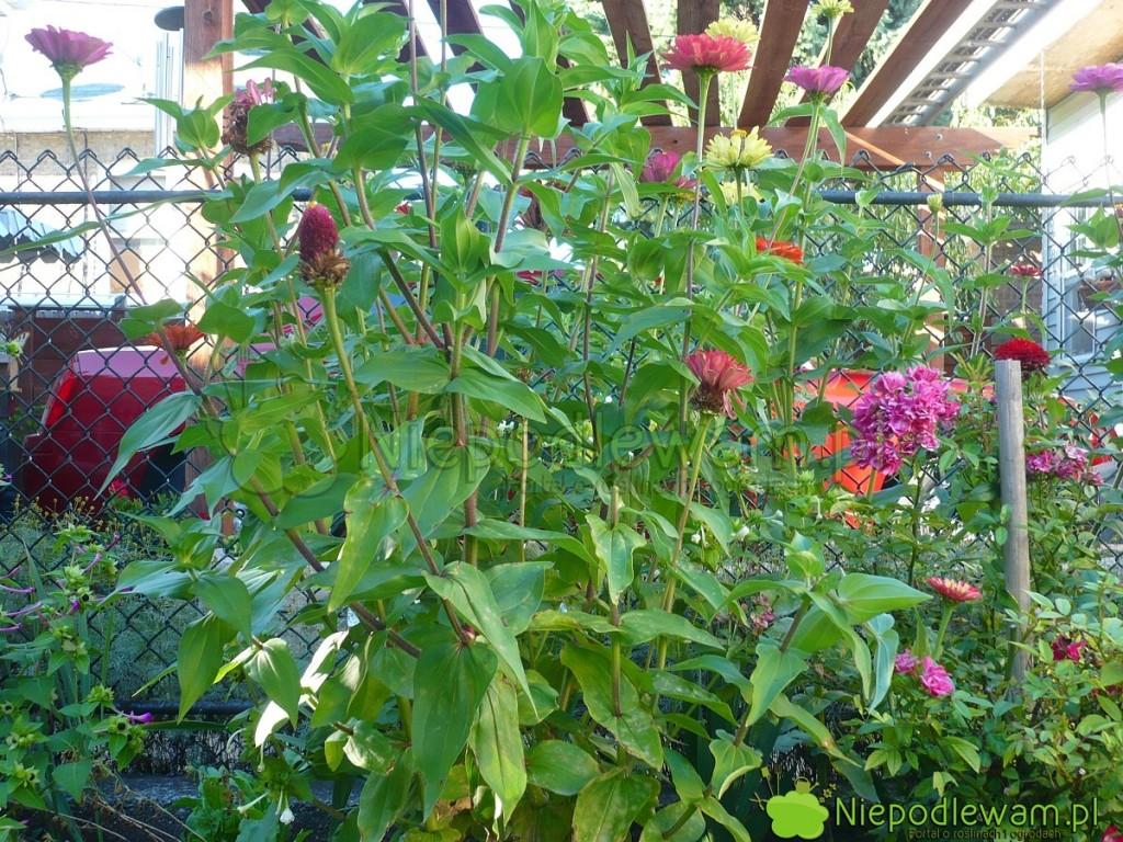 Cynie wytworne to popularne, lubiane kwiaty jednoroczne. Fot. Niepodlewam