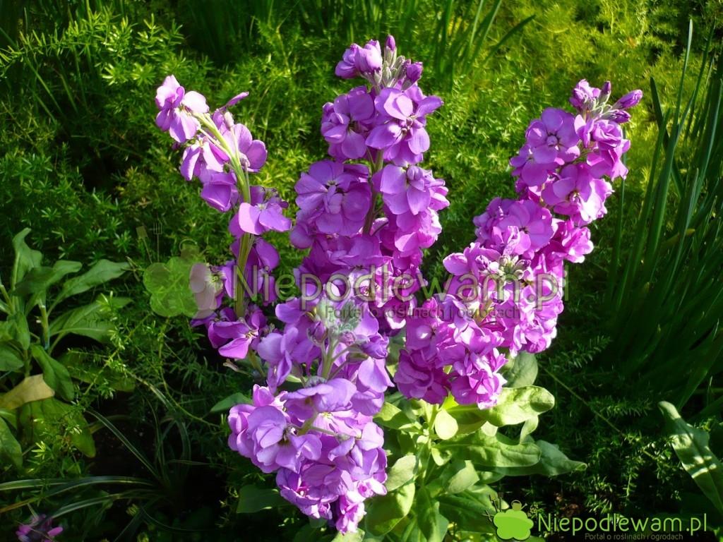 Lewkonia letnia tojeden znajpiękniejszych kwiatów. Wspaniale pachnie. Fot.Niepodlewam