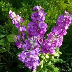 Lewkonia letnia to jeden z najpiękniejszych kwiatów. Wspaniale pachnie. Fot. Niepodlewam