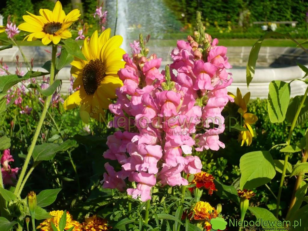 Lwia paszcza kwitnie aż dowiększych przymrozków. Ma kwiaty wkształcie lwich pysków. Fot.Niepodlewam