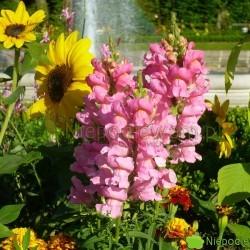 Lwia paszcza kwitnie aż do większych przymrozków. Ma kwiaty w kształcie lwich pysków. Fot. Niepodlewam