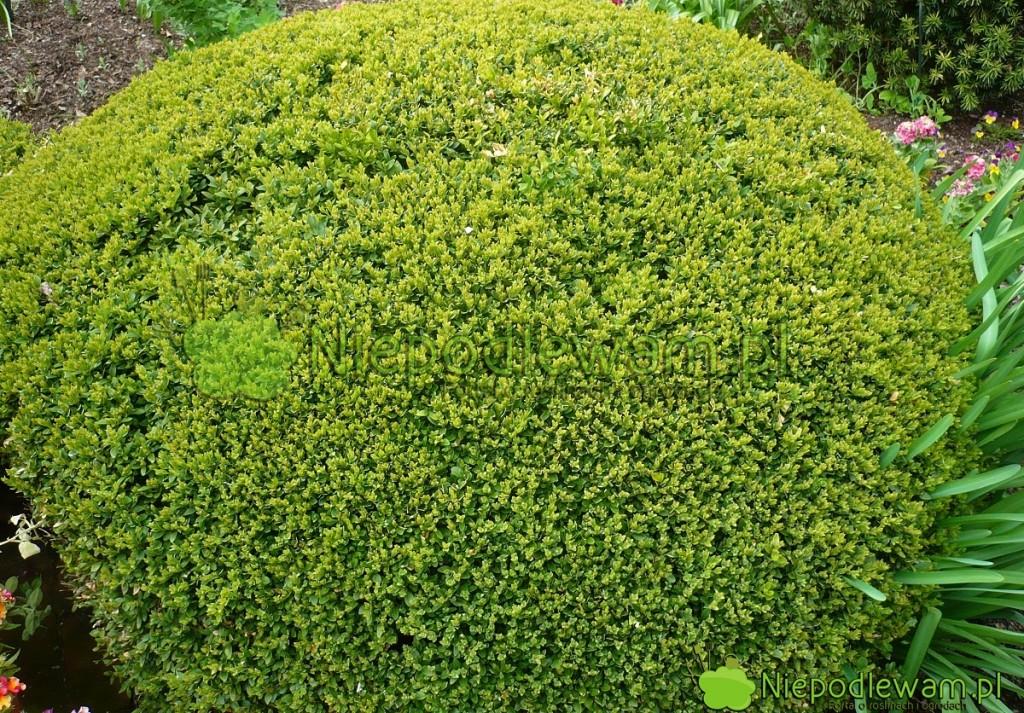 Bukszpan Green Velvet ma naturalny, kulisty pokrój. Dzięki przycinaniu można go kształtować widealne kule. Fot.Niepodlewam