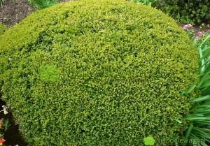 Bukszpan Green Velvet ma naturalny, kulisty pokrój. Dzięki przycinaniu można go kształtować w idealne kule. Fot. Niepodlewam