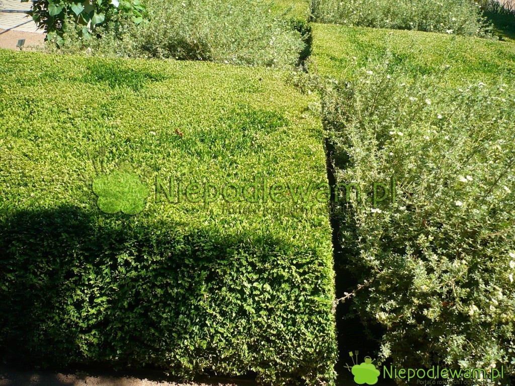 Dywan zbukszpanów Green Velvet przypomina zielony aksamit. Fot.Niepodlewam