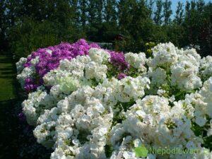 Floks wiechowaty wspaniale kwitnie i pachnie. Wysokie odmiany nadają się np. na kwitnące żywopłoty. Fot. Niepodlewam