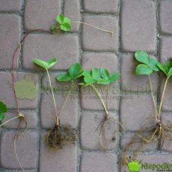 Sadzonki truskawek z rozłogów (wąsów) łatwo pozyskać z własnego ogrodu lub zaprzyjaźnionego. Fot. Niepodlewam