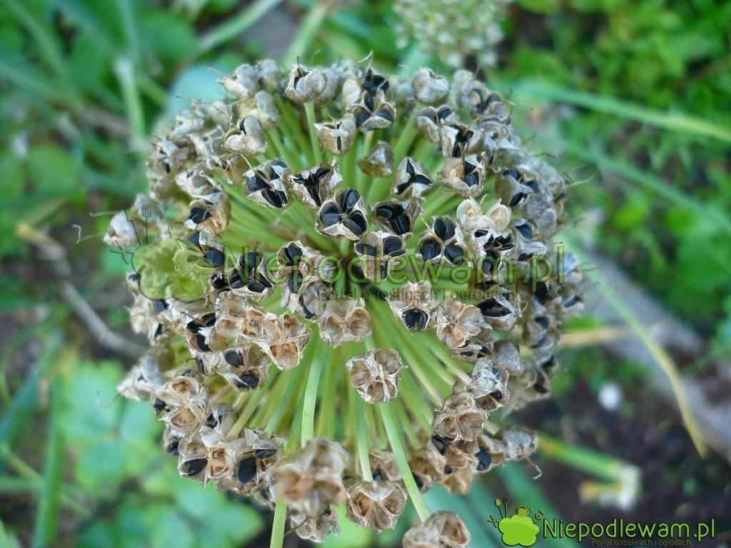 Siew cebuli siedmiolatki jest prosty. To warzywo wystarczy posiać raz w ogrodzie. Potem cebula siedmiolatka rozsiewa się sama. Zawiązuje dużo nasion. Fot. Niepodlewam