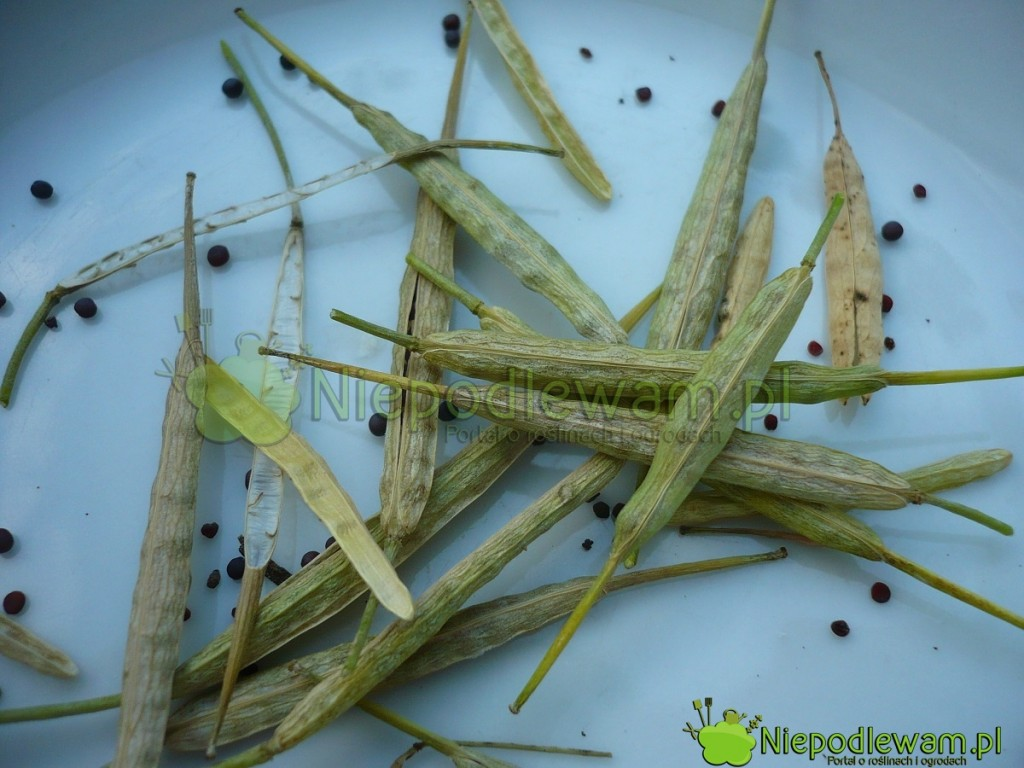 Nasiona komatsuny są podobne do rukoli. Łatwo je zebrać z własnej uprawy. Fot. Niepodlewam