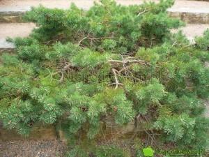 Sosna pospolita Hillside Creeper płoży się i - jeśli rośnie na wzniesieniu - jej gałęzie spływają w dół. Wygląda malowniczo. Fot. Niepodlewam